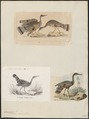 Eurypyga solaris - 1700-1880 - Print - Iconographia Zoologica - Special Collections University of Amsterdam - UBA01 IZ17300147.tif