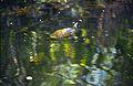 Everglades45(js)-Turtle.jpg