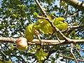 Fagales - Quercus robur - 004.jpg