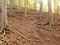 Fagus sylvatica - panoramio.jpg