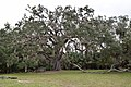Fairchild Oak -- Live Oak.jpg