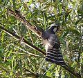 Falcão peregrino (Falco peregrinus).jpg