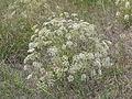 Falcaria vulgaris (habitus) 1.jpg