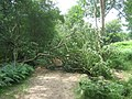 Fallen Tree over Tunbridge Wells Circular - geograph.org.uk - 1412008.jpg