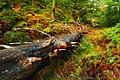 Falling Tree. - panoramio.jpg