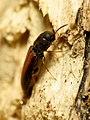 False Click Beetle (31811292925).jpg