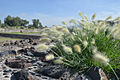 Feather Grass, Mexico.jpg
