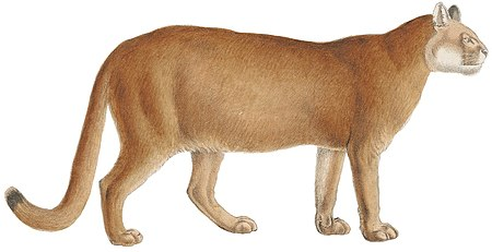 Felis concolor - 1818-1842 - Print - Iconographia Zoologica - Special Collections University of Amsterdam -(white background).jpg