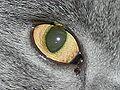 Felis silvestris catus (oeil).JPG