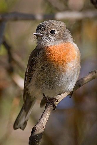 Scarlet robin - Image: Female scarlet robin