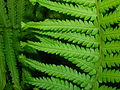 Fern sport - pinnae of Soft shiled fern sport hybrid.jpg