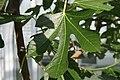Ficus carica Violette Du Bordeaux 2zz.jpg