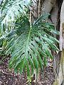 Ficus rubiginosa 01 leaf by Line1.jpg