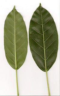 """<i>Ficus virens <span style=""""font-style:normal;"""">var.</span> sublanceolata</i>"""