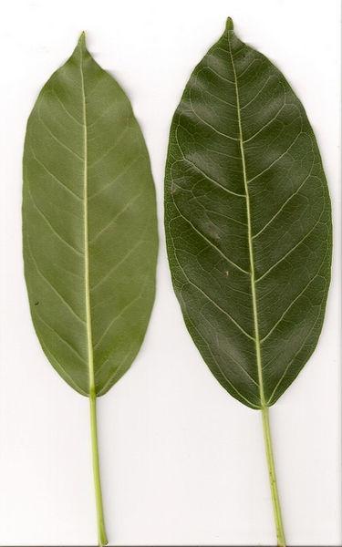 File:Ficus virens sublanceolata leaves.jpg