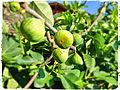 Figs, tuscany,.jpg