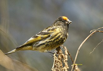 Serinus - Image: Fire fronted Serin at Deoria Tal