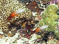 Fire Dartfish, Bunaken Island.jpg