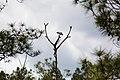 Fish crow (46595708665).jpg
