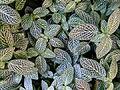 Fittonia argyroneura serres Jardin du Luxembourg.JPG