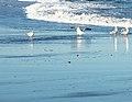 Five Gulls (13286452303).jpg