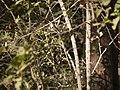 Flacourtia indica (8502194069).jpg