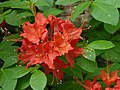 Flame Azalea Rhododendron calendulaceum 'Mandarin Red' Flowers 3264px.jpg