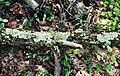 Flavoparmelia caperata-6.jpg