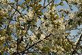 Fleur cerisier 04.jpg