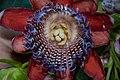 Fleur d'une variété de fruit de la passion (appelée grenadelle ou grenadine à La Réunion).jpg