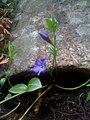 Fleur mauve (semble bleu sur la photo) (5734894541).jpg