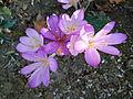 Fleurs inconnues des jardins de Bagatelle.JPG