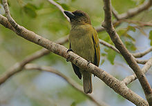 Flickr - Rainbirder - Green Barbet (Stactolaema olivacea).jpg