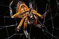 Flickr - ggallice - Orb spider.jpg