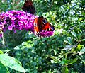 Flickr - ronsaunders47 - BUTTERFLY MEETING PLACE..jpg