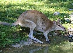 Flinkwallaby Macropus agilis Tierpark Hellabrunn-9.jpg