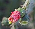 Flor de una tunera (Opuntia cochenillifera), Puerto de la Cruz, Tenerife, España, 2012-12-13, DD 01.jpg