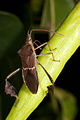 Florida leaf footed bug-3.jpg