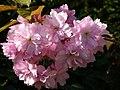 Flowering Ornamental Cherry - geograph.org.uk - 402880.jpg