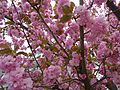 Flowering tree pink colors and branches in New Jersey.JPG