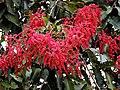 Flowers of Terminalia myriocarpa Mishmi Hills AJTJ.JPG