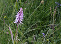 Flowers on chalky Hambledon Hill 20080614.jpg
