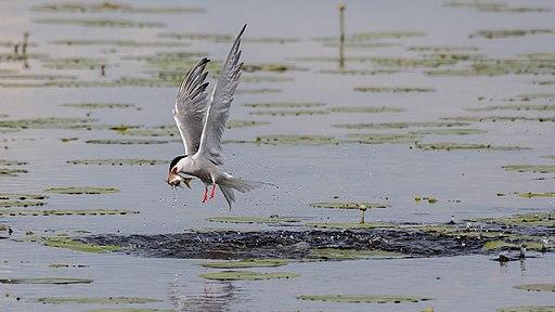 Fluss-Seeschwalbe im Vogelschutzgebiet Federseeried (DE-7923-401) beim Fischfang03