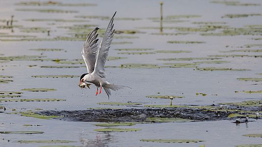 Common tern catching a common rudd