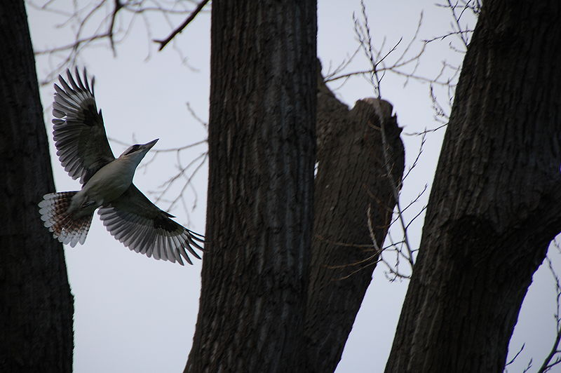 File:Flying Kookaburra DSC 0711.JPG