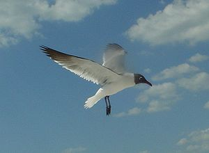 Laughing gull - Image: Flying Laughing Gull