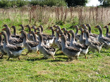 Toulouse Geese in Normandy