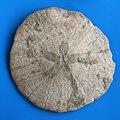 Fossil Echinoidea Kazahstan URS.jpg