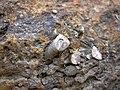 Fossiliferous dolostone (Rockford Limestone, Lower Mississippian; Burkesville West Rt. 90 roadcut, Kentucky, USA) 10 (46622763091).jpg