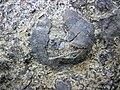 Fossiliferous limestone (Leitchfield Formation, Upper Mississippian; Western Kentucky Parkway roadcut, southern side of Leitchfield, Kentucky, USA) 3 (40473454840).jpg